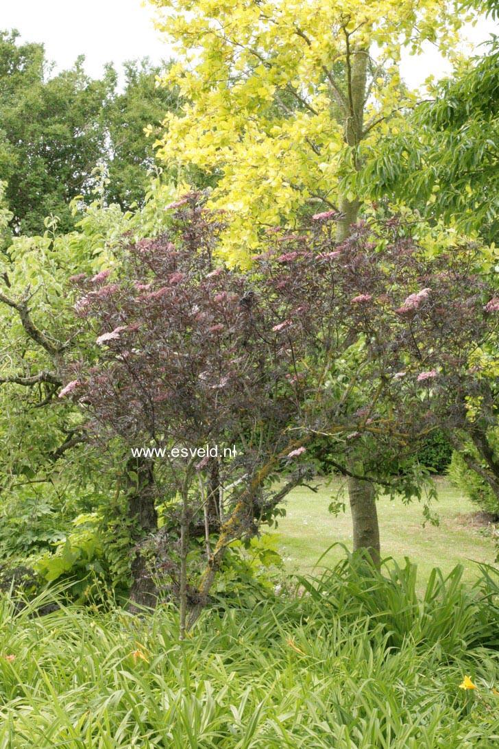 picture and description of sambucus nigra 39 eva 39 black lace. Black Bedroom Furniture Sets. Home Design Ideas