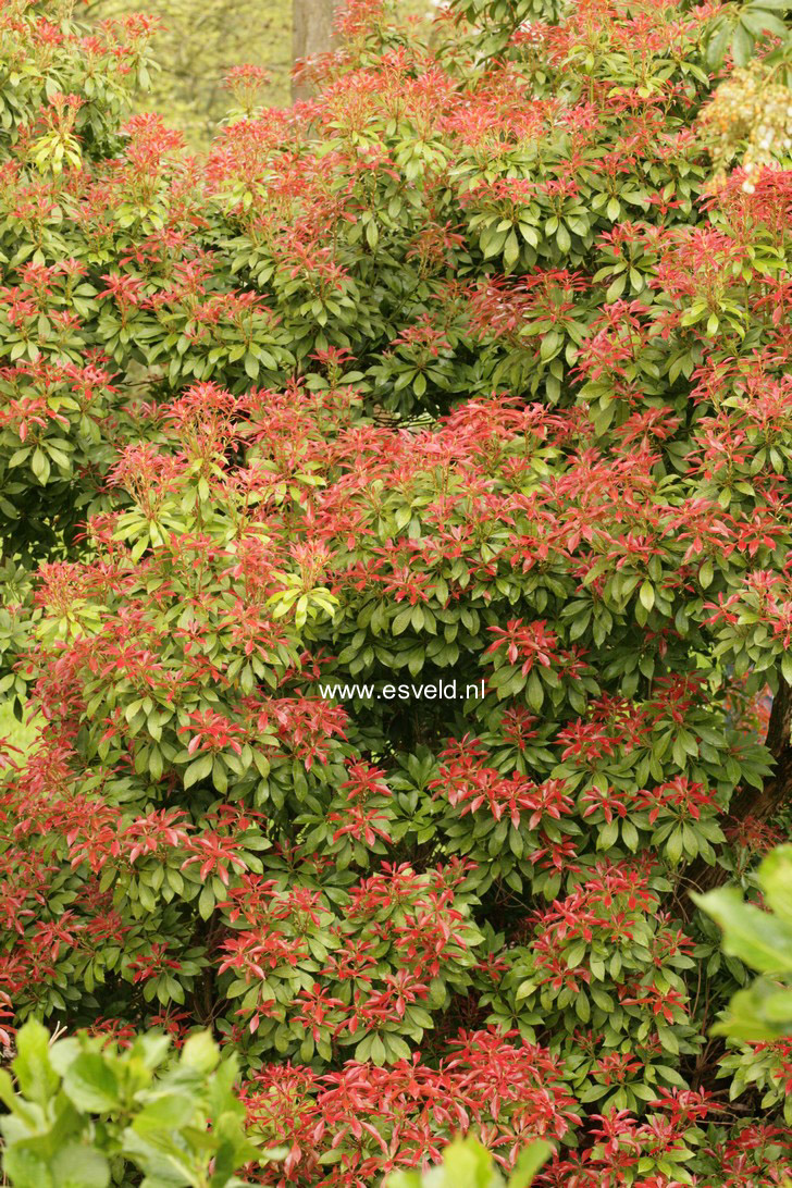 picture and description of pieris japonica 39 mountain fire 39. Black Bedroom Furniture Sets. Home Design Ideas