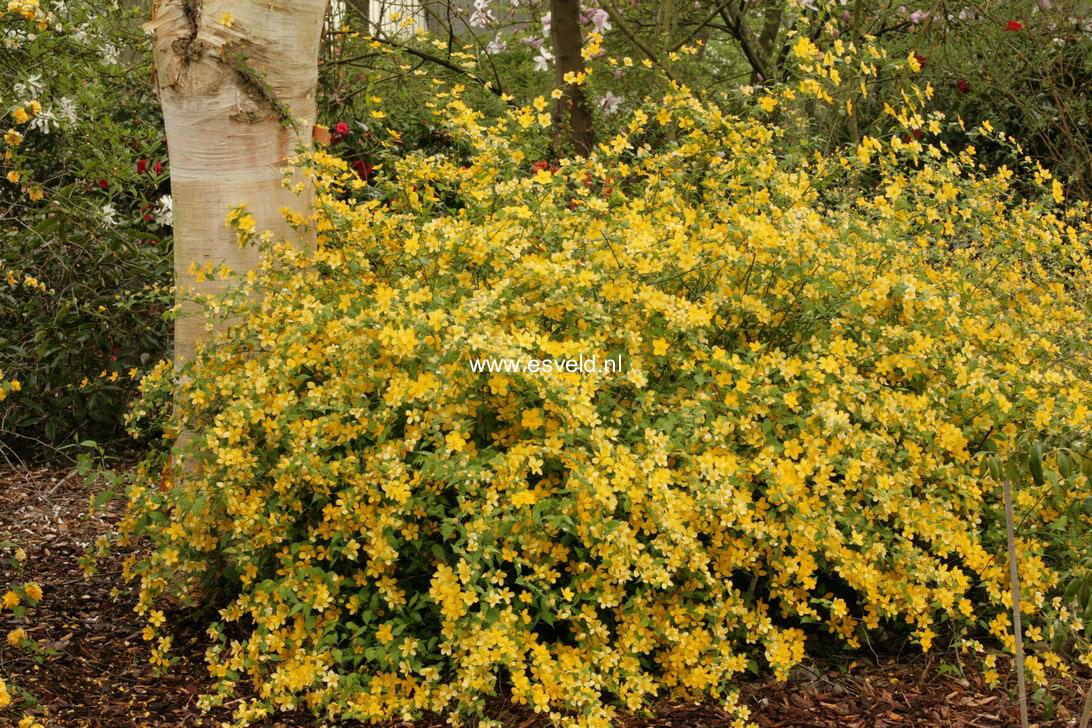 Picture and description of kerria japonica 39 golden guinea 39 for Kerria japonica