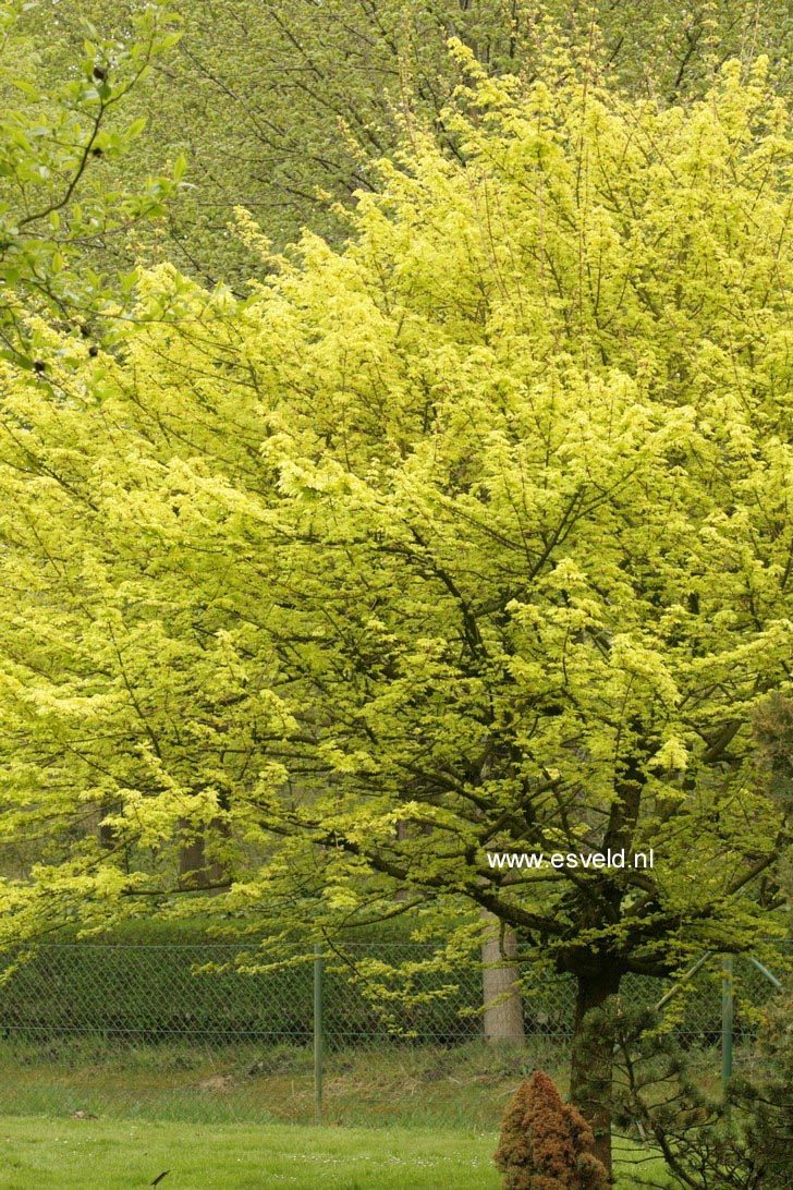 Picture And Description Of Acer Campestre Postelense