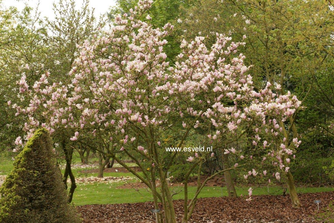 abbildung und beschreibung von magnolia stellata 39 george. Black Bedroom Furniture Sets. Home Design Ideas