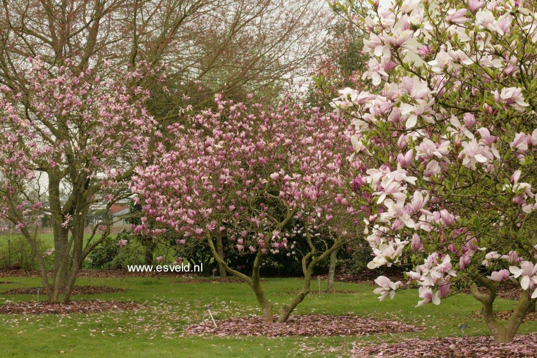 abbildung und beschreibung von magnolia 39 judy 39. Black Bedroom Furniture Sets. Home Design Ideas
