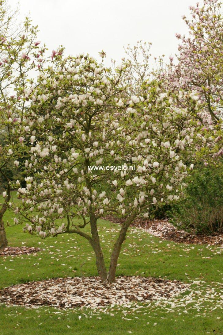 picture and description of magnolia soulangiana liliputian. Black Bedroom Furniture Sets. Home Design Ideas