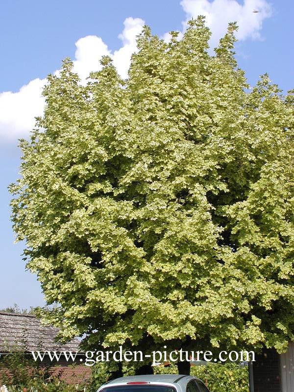 Picture And Description Of Acer Pseudoplatanus Prinz Handjery