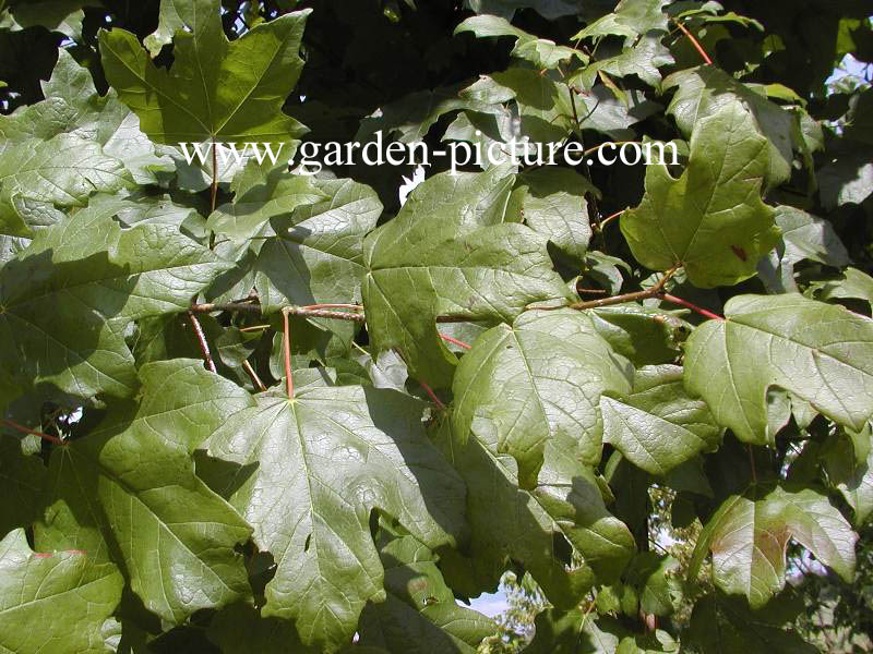 Acer saccharum ssp. floridanum