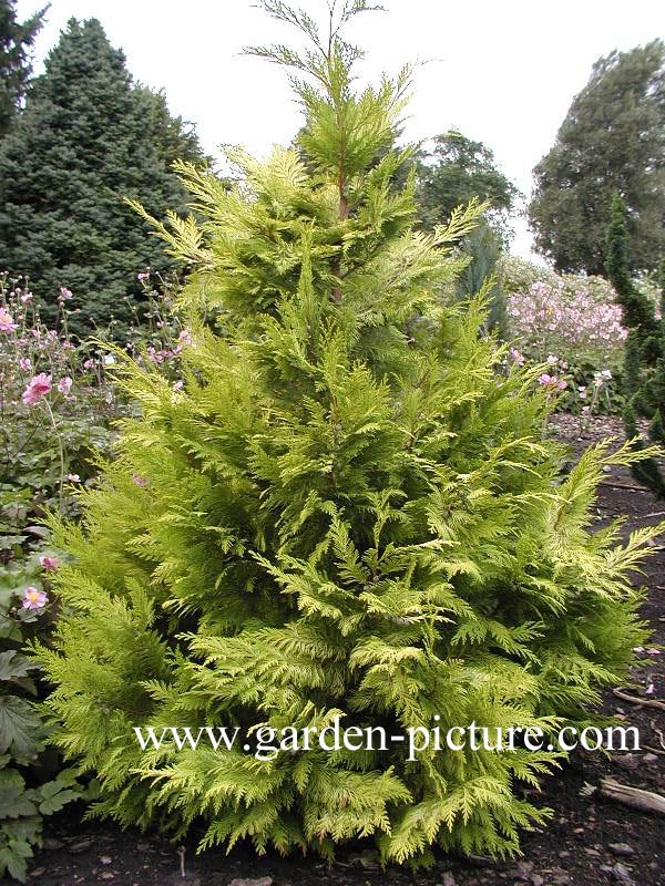 gelbe Scheinzypresse /'Golden Wonder/' Chamaecyparis lawsoniana /'Golden Wonder/'
