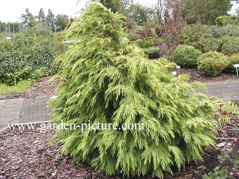Picture And Description Of Chamaecyparis Lawsoniana Sunkist