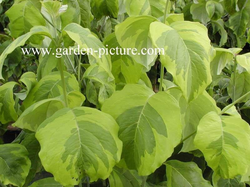 Plantenwinkel cornus florida 39 rainbow 39 - Cornus florida rainbow ...