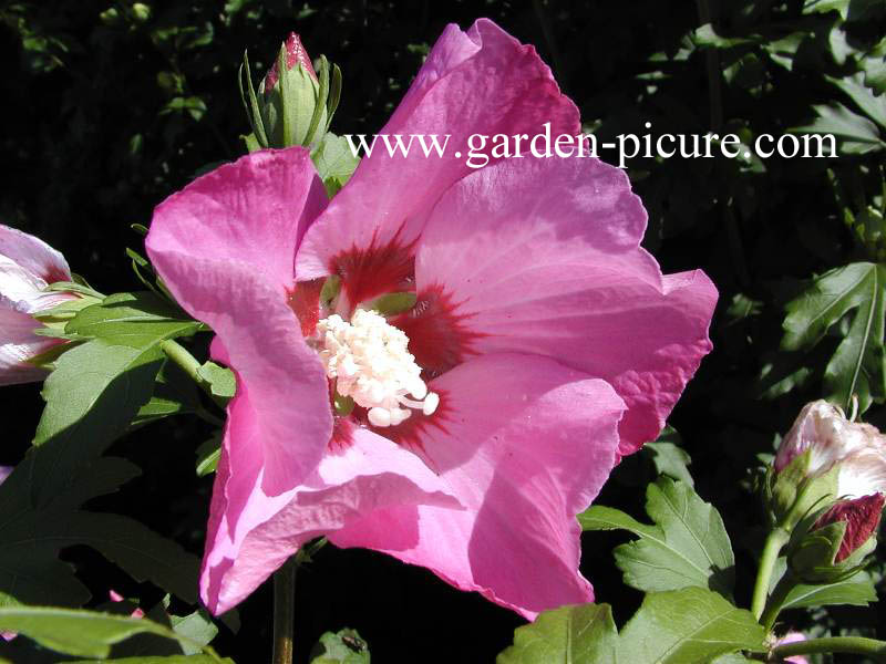 Picture And Description Of Hibiscus Syriacus Flogi Pink Giant