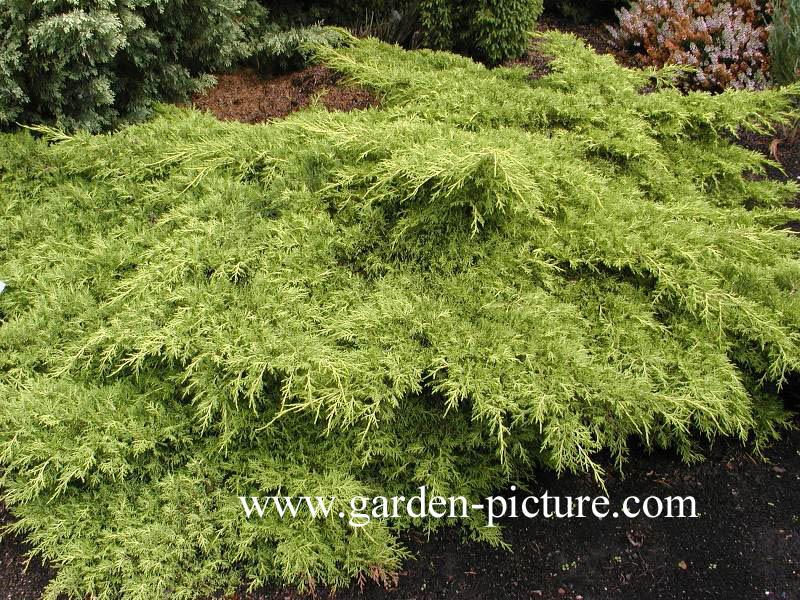 Juniperus pfitzeriana 'Old Gold'
