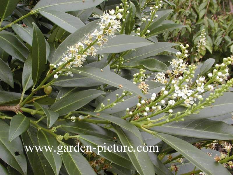 picture and description of prunus laurocerasus 39 herbergii 39. Black Bedroom Furniture Sets. Home Design Ideas