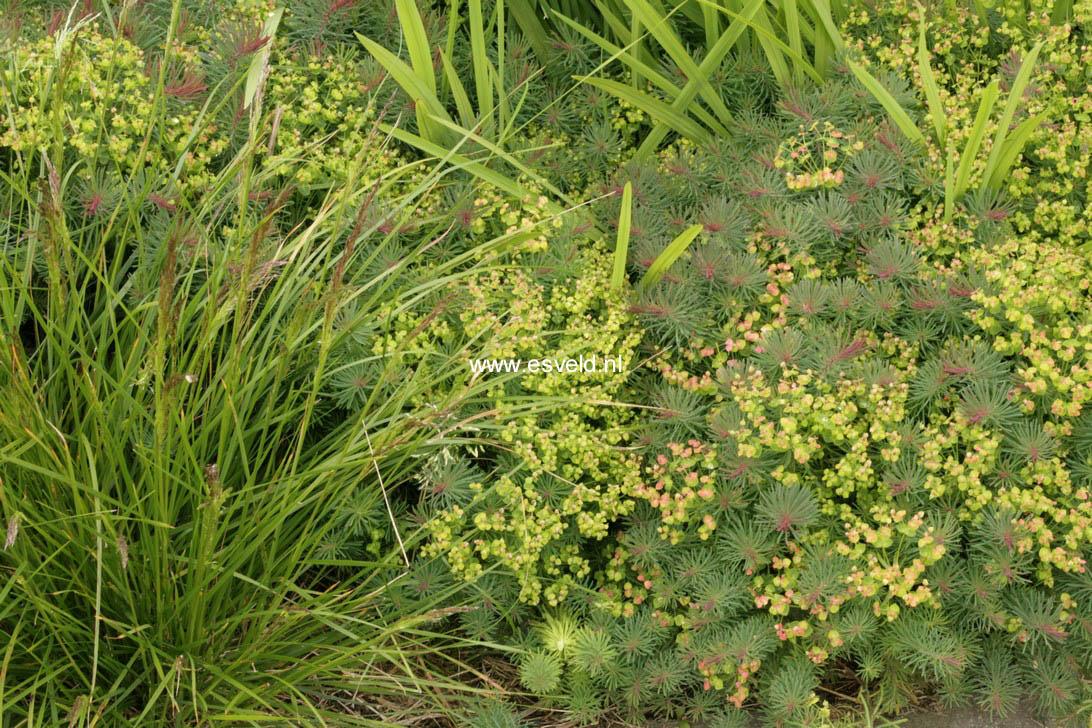 Euphorbia cyparissias 'Clarice Howard'