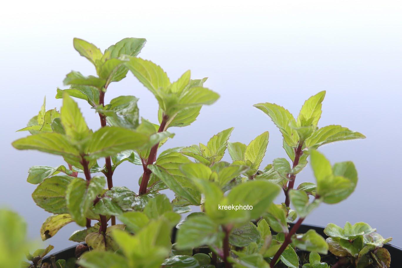 Mentha gracilis 'Ginger'
