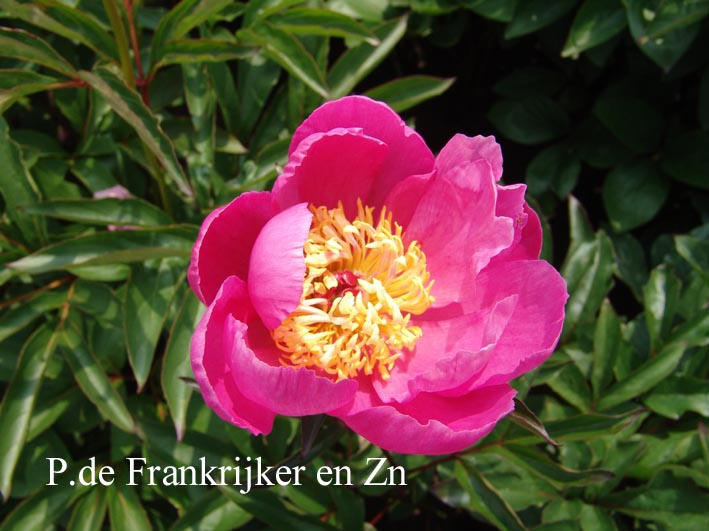 Paeonia 'Mr. B.G. Fahr'