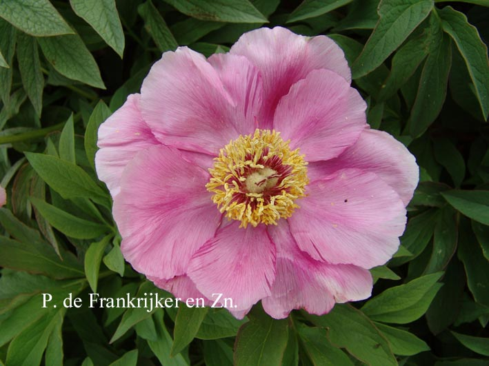 Picture and description of paeonia officinalis 39 mollis 39 for Paeonia officinalis