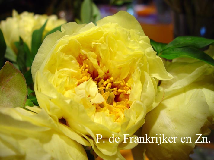 Paeonia 'Yellow Crown' (Itoh)