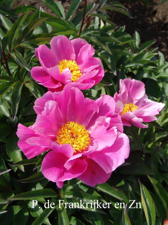 Paeonia 'Pierre Debatene'