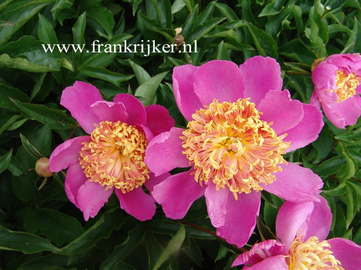 Paeonia 'Tom Eckhardt'