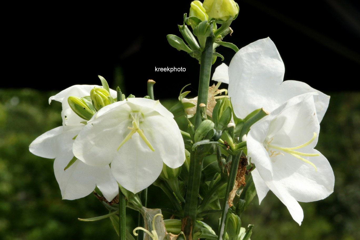 Campanula persicifolia 'Takion White'
