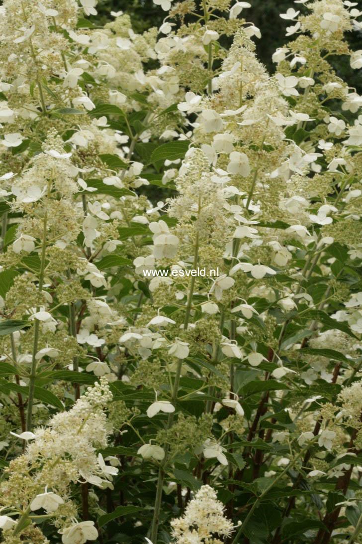 plantenwinkel hydrangea paniculata 39 kyushu 39. Black Bedroom Furniture Sets. Home Design Ideas