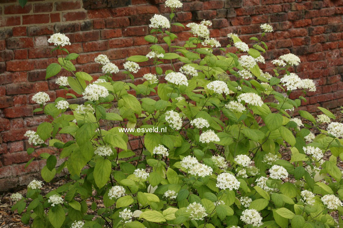 Hydrangea arborescens 'Hulsdonk'