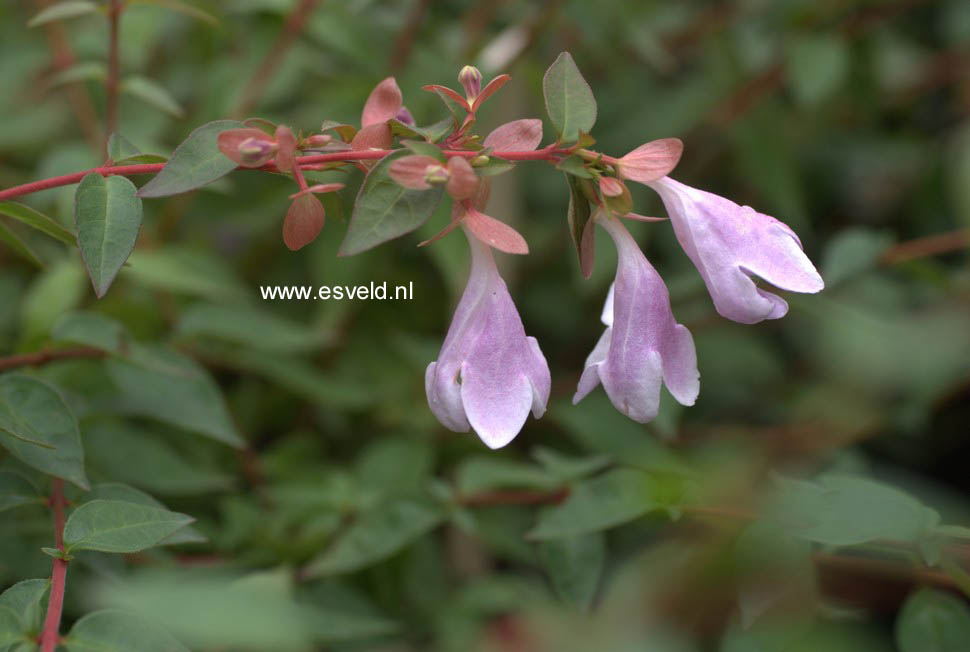 Picture And Description Of Abelia Lynn Pinky Bells