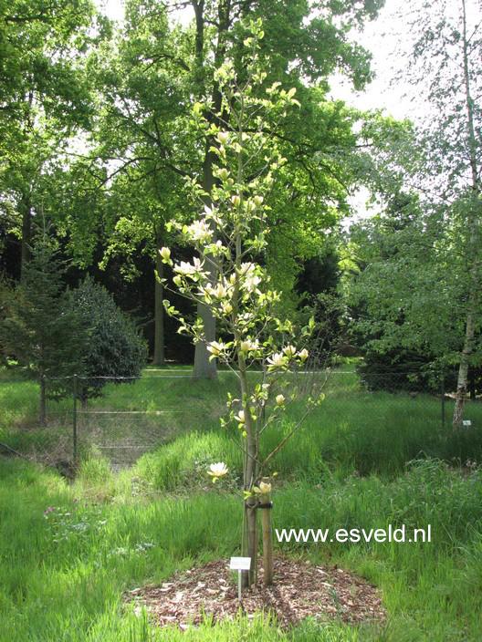 abbildung und beschreibung von magnolia 39 sunsation 39. Black Bedroom Furniture Sets. Home Design Ideas