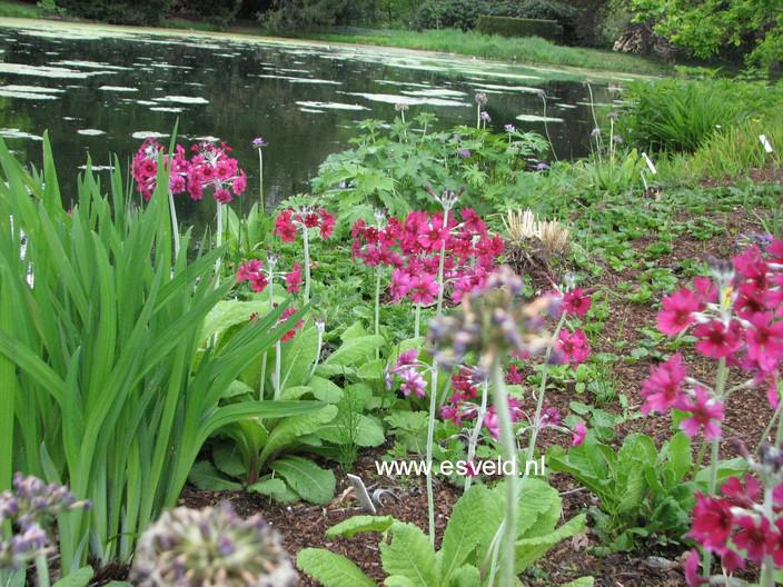 Primula japonica 'Miller's Crimson'