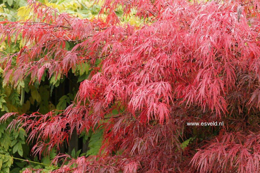 Picture And Description Of Acer Palmatum Autumn Fire
