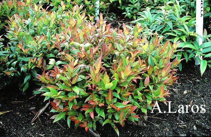 Leucothoe Axillaris Zeblid Leucothoe Axillaris Leucothoe