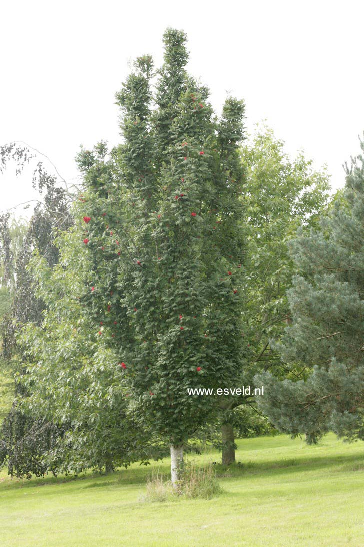 picture and description of sorbus aucuparia 39 fastigiata 39. Black Bedroom Furniture Sets. Home Design Ideas
