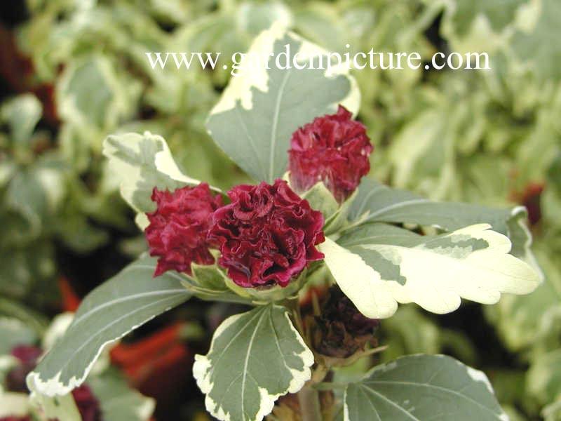 Picture And Description Of Hibiscus Syriacus Purpureus