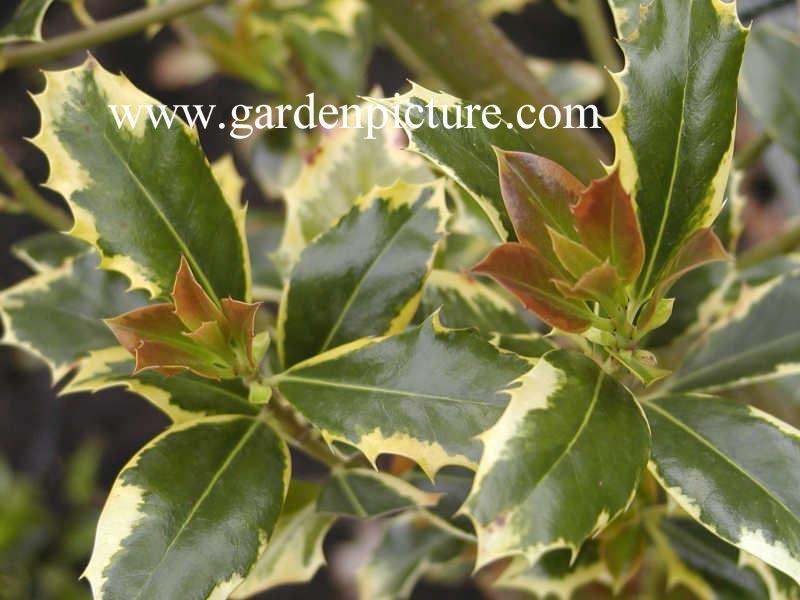 Ilex Aquifolium Pyramidalis Aureomarginata