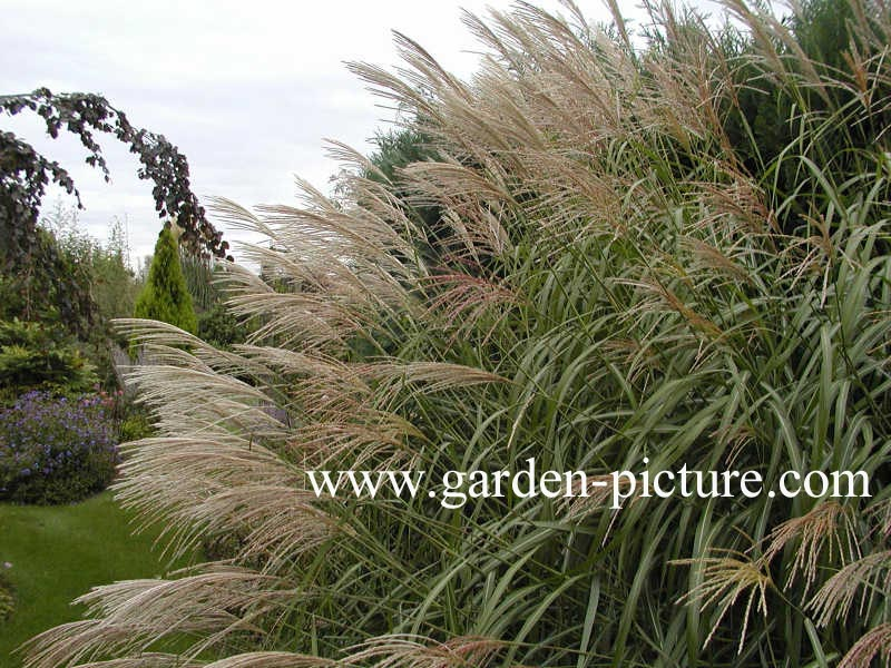Picture and description of Miscanthus sinensis Silberfeder ...
