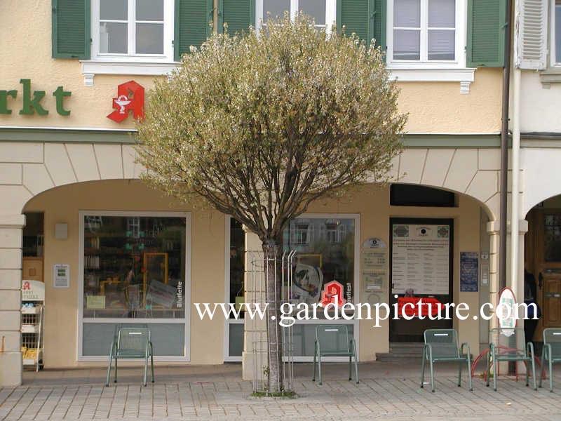 picture and description of prunus fruticosa 39 globosa 39. Black Bedroom Furniture Sets. Home Design Ideas