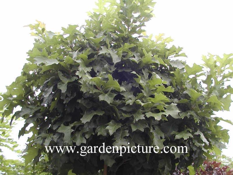 abbildung und beschreibung von quercus palustris 39 green dwarf 39. Black Bedroom Furniture Sets. Home Design Ideas