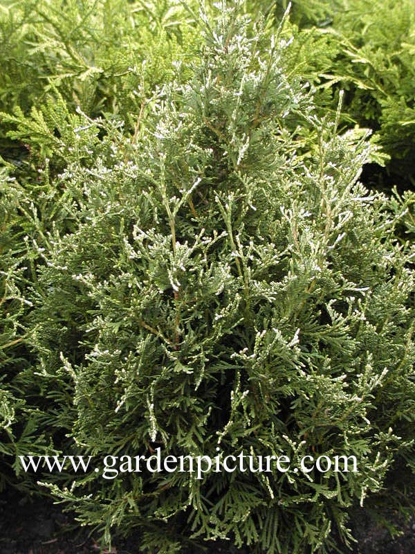 Thuja occidentalis 'Herzberg'