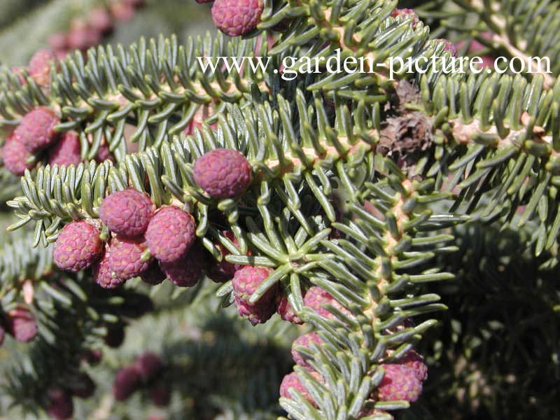 Abies procera 'Glauca'