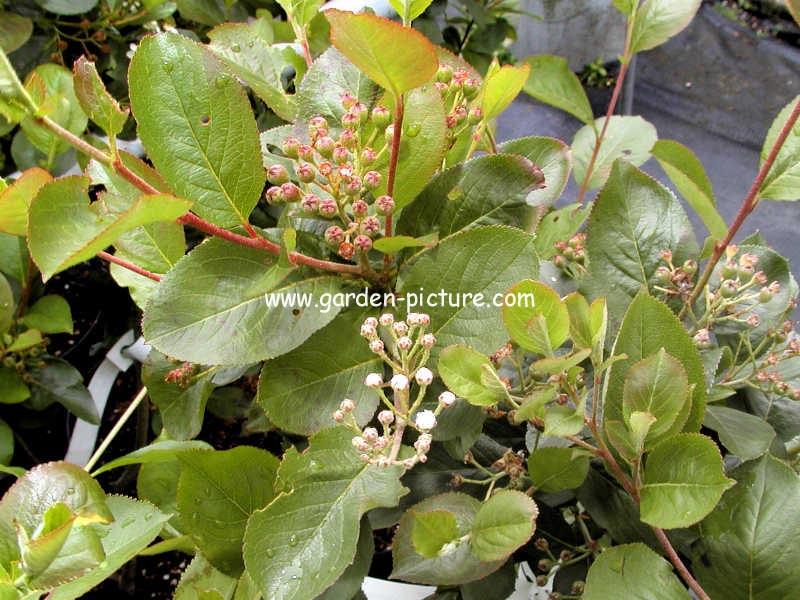 Aronia prunifolia 'Serina'