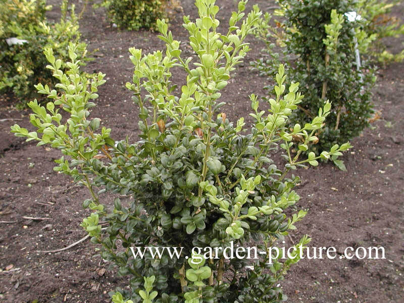 picture and description of buxus sempervirens 39 rotundifolia 39. Black Bedroom Furniture Sets. Home Design Ideas