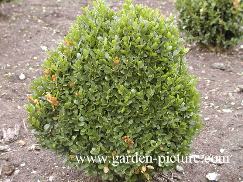 pictures and description of buxus sempervirens. Black Bedroom Furniture Sets. Home Design Ideas