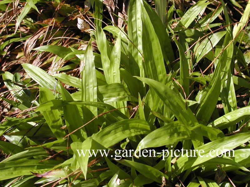 Carex plantaginea (66444)