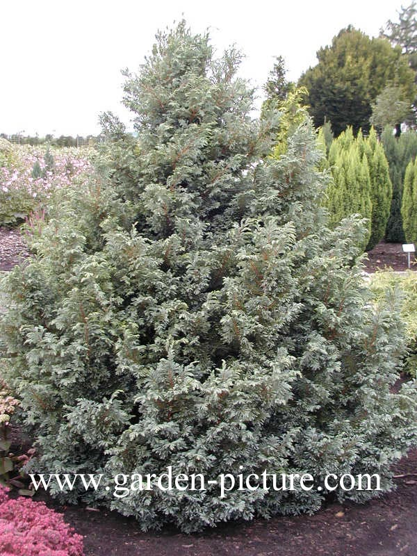 Chamaecyparis pisifera 'Boulevard'