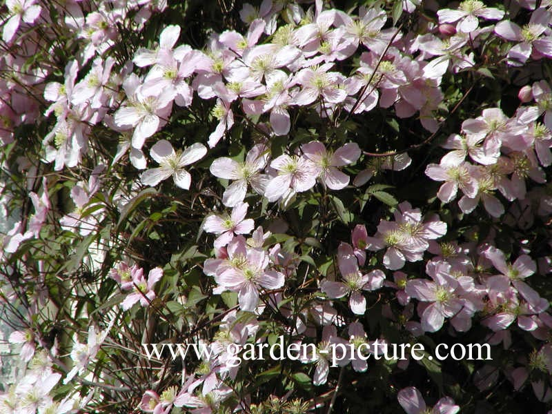 Clematis montana 'Rubens'