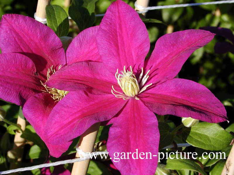 Clematis 'Sunset'