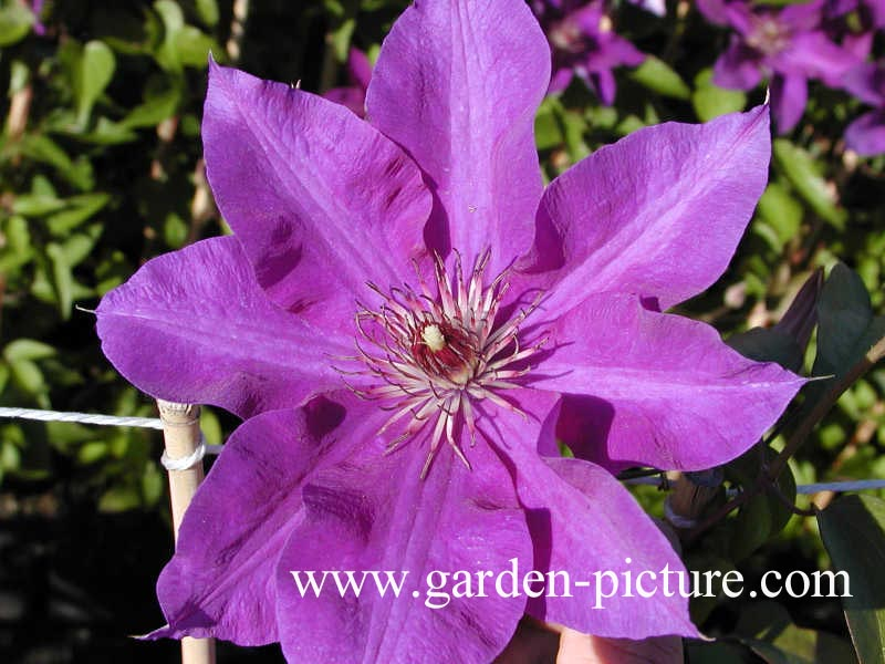pictures and description of clematis the president www. Black Bedroom Furniture Sets. Home Design Ideas