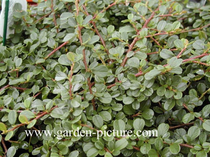 Picture and description of cotoneaster procumbens queen of carpets