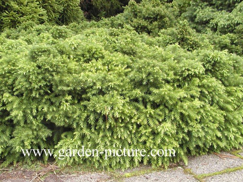 Cryptomeria japonica 'Monstrosa Nana'