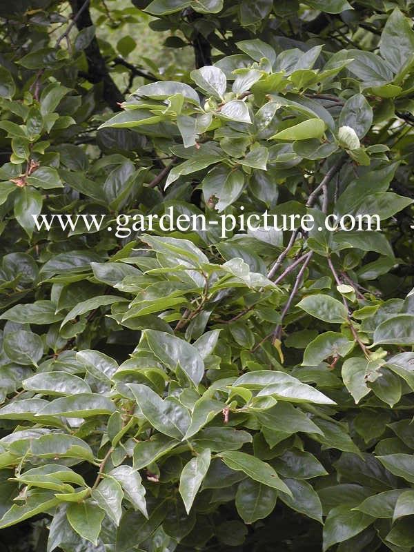 handels garden creme
