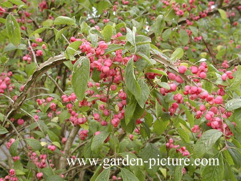Plantenwinkel euonymus alatus for Euonymus alatus